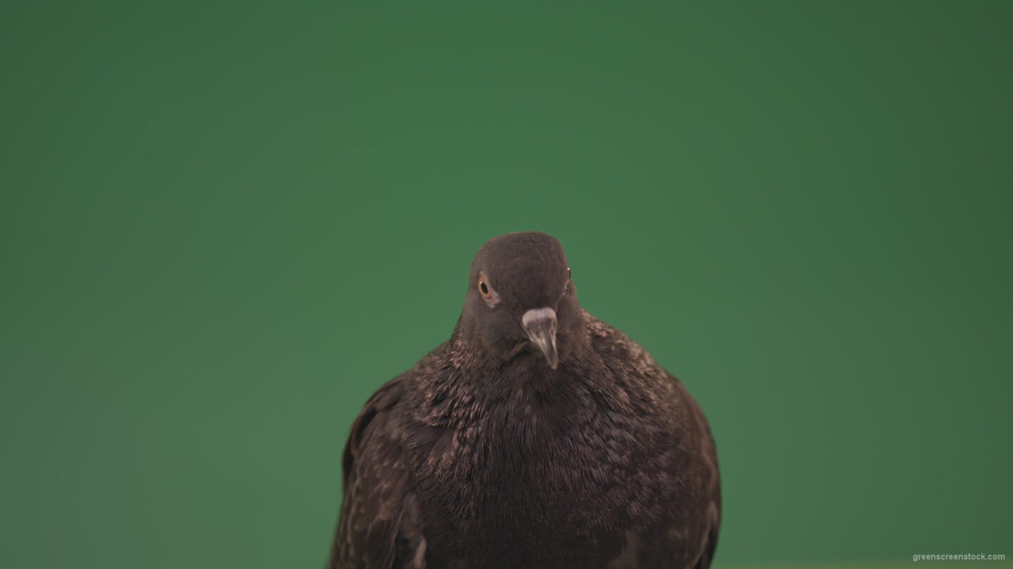 vj video background Pigeon-came-to-rest-after-a-long-flight-isolated-on-chromakey-background_003