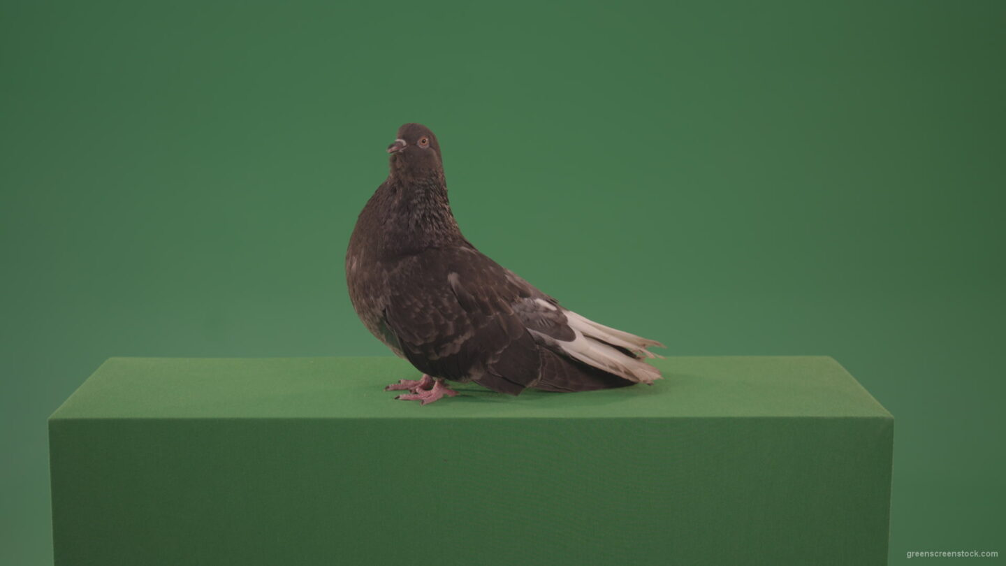 vj video background Pigeon-flies-over-the-city-in-search-of-its-nest-isolated-on-green-screen_003