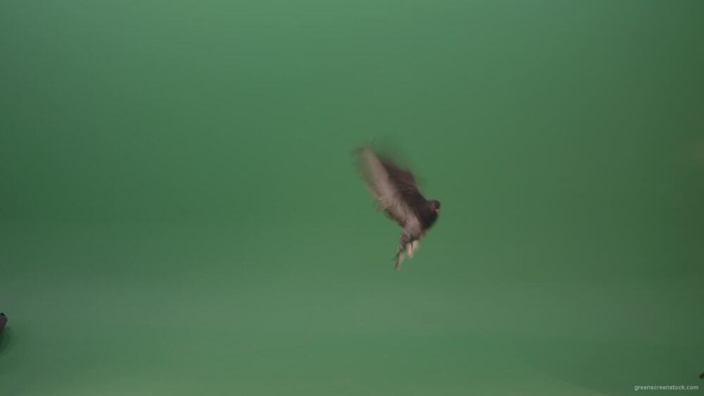 Raft-of-a-gray-pigeon-in-a-circle-of-landing-isolated-on-green-screen_006 Green Screen Stock