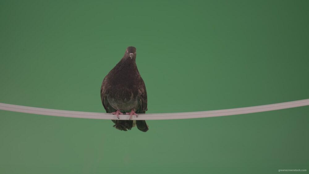 vj video background Sitting-bird-doves-on-a-pipe-in-a-big-city-isolated-on-chromakey-background_003