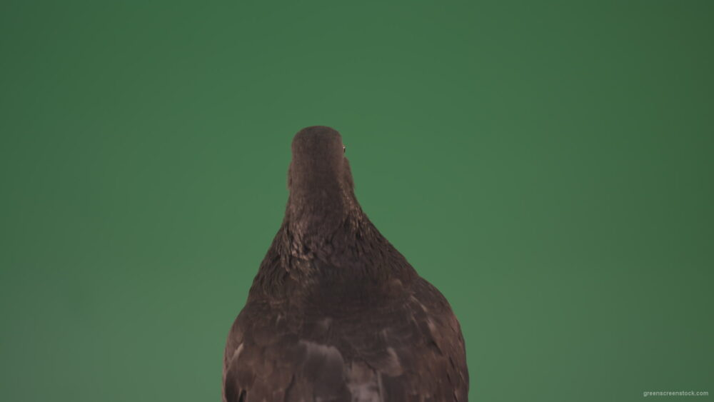 vj video background Sitting-wings-to-the-chicken-bird-home-pigeon-isolated-on-chromakey-background_003