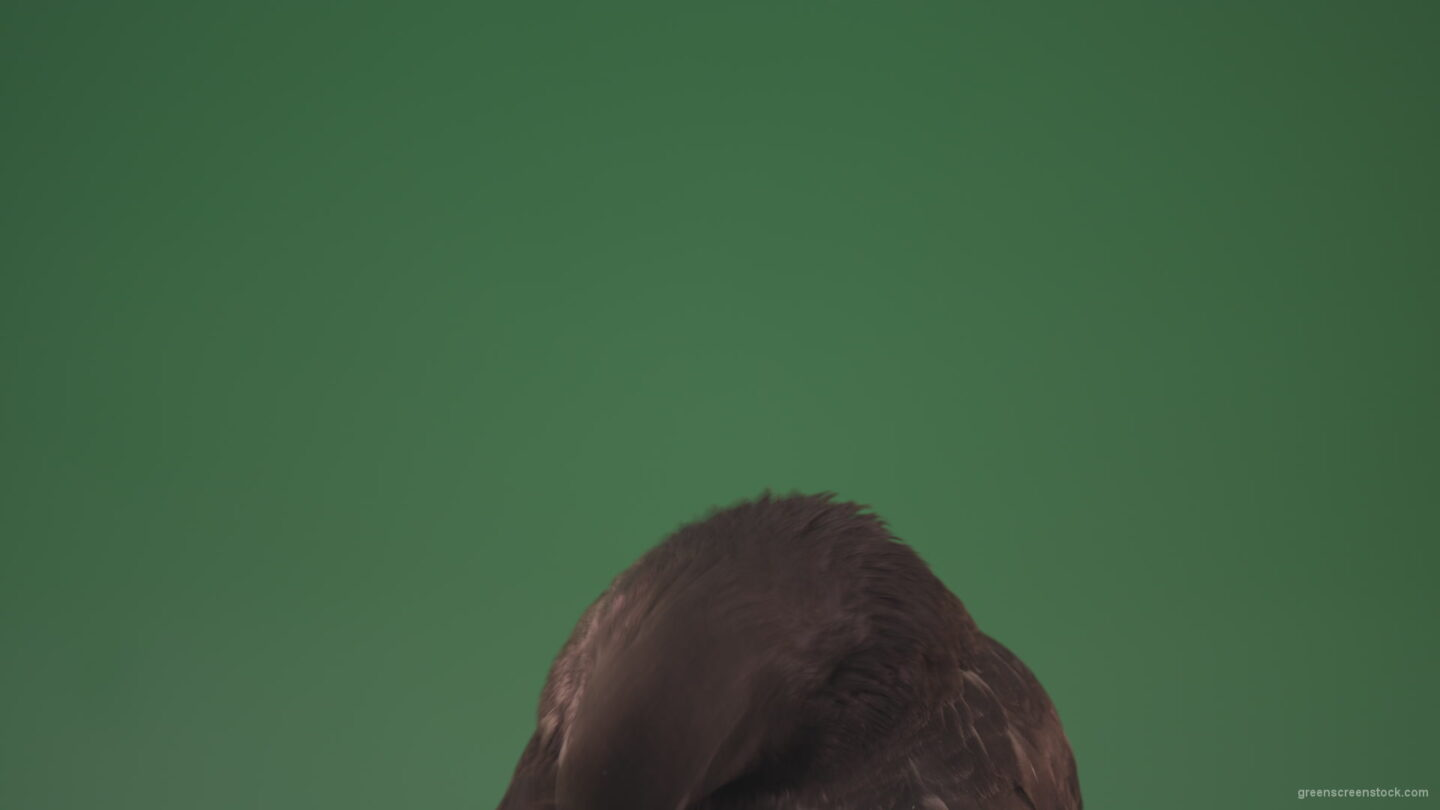 vj video background Wiggles-his-feathers-sitting-on-a-tree-in-a-big-city-bird-doves-isolated-on-chromakey-background_003
