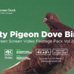 City Pigeon Dove Bird Green Screen Video Footage