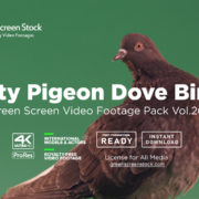 City Pigeon Dove Bird Green Screen Video Footage
