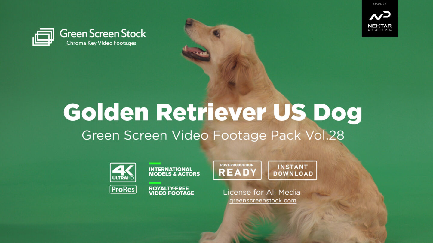 Golden Retriever Dog Green Screen Video Footage Pack