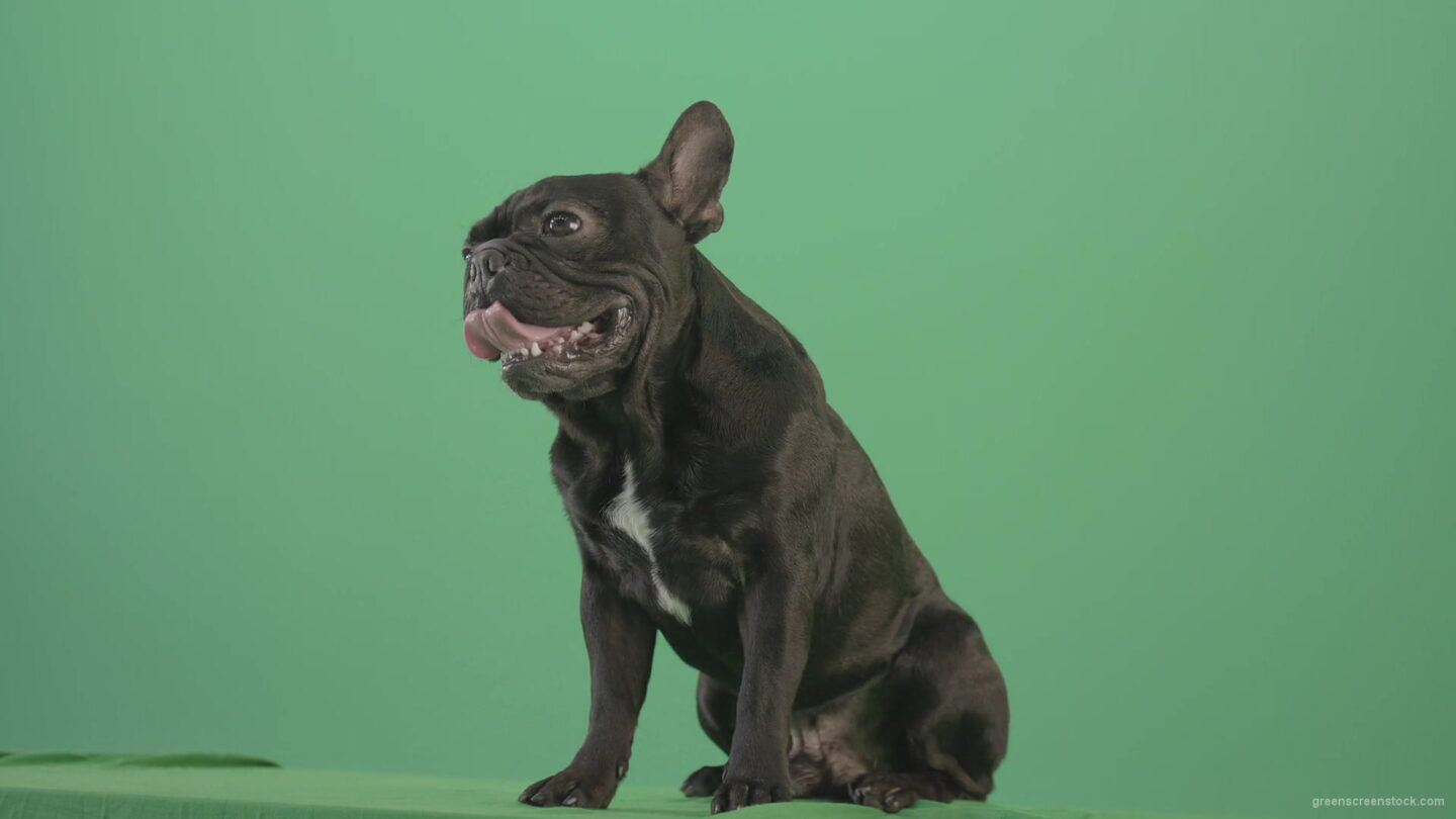 vj video background Angra-French-bulldog-black-toy-dog-watch-enemy-over-green-screen-4K-Video-Footage-1920_003