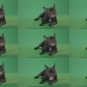 Boring-black-French-Bulldog-chilling-like-a-Bos-on-green-screen-4K-Video-Footage-1920 Green Screen Stock