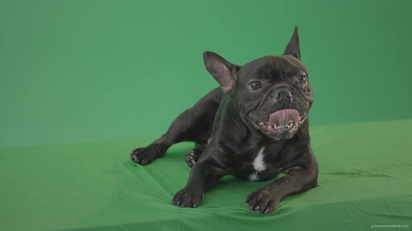 vj video background Boring-black-French-Bulldog-chilling-like-a-Bos-on-green-screen-4K-Video-Footage-1920_003