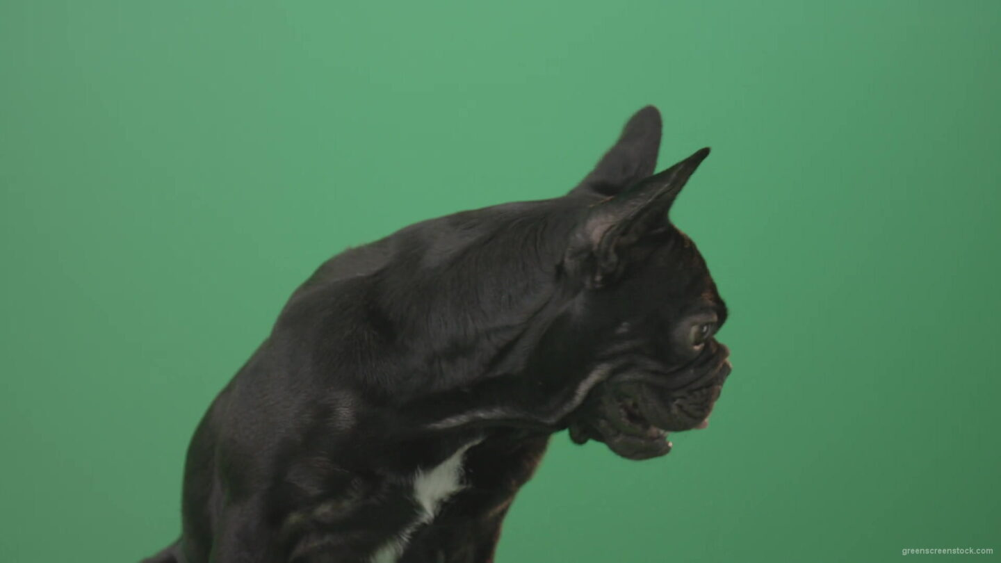 vj video background Face-portrait-of-scared-french-bulldog-toy-dog-isolated-on-green-screen-1920_003