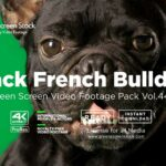 French-Bulldog video footage on green screen