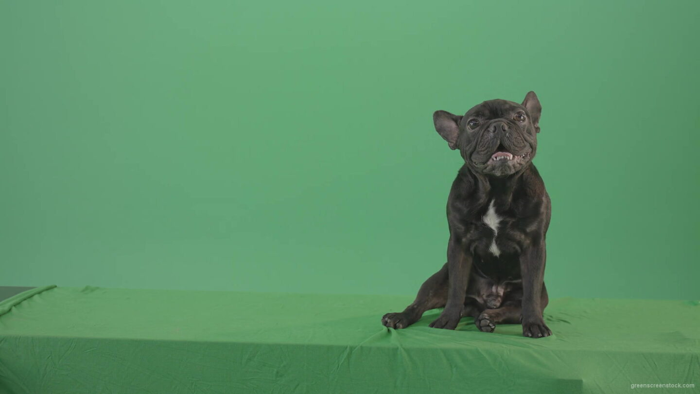 vj video background French-bulldog-in-sitting-pose-barking-isolated-on-green-screen-4K-Video-Footage-1920_003