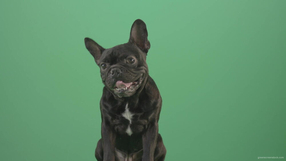 vj video background Hard-breathing-french-black-bull-dog-over-green-screen-4K-Video-Footage-1920_003