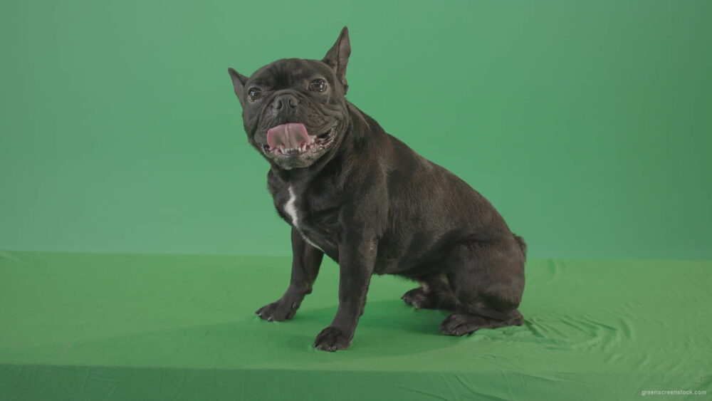 vj video background Small-French-bull-dog-posing-in-side-view-on-green-screen-4K-Video-Footage--1920_003