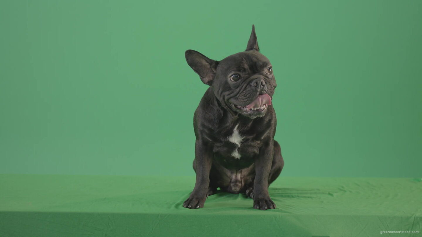 vj video background Tired-french-bulldog-sitting-and-posing-in-green-screen-studio-4K-Video-Footage-1920_003